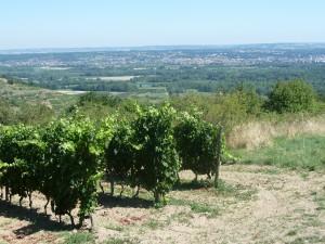 Sur la rive droite comme la rive gauche du Rhône, viognier et syrah se plaisent bien (© Pierre Nouvelle)