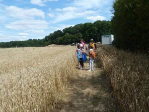 Le maïs planté il ya quinze ans et formé en labyrinthe, a cédé la place au blé et à d'autres parcours ludiques (© Pierre Nouvelle).