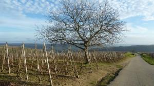 Entre Côte rôtie et Condrieu, vins bio ou phytosanités, que deviennent les sulfites ? (© Pierre Nouvelle).