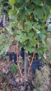 Après la crise du phylloxéra de 1905, il fallu cinquante ans pour que la vigne présente dans la vallée du Rhône depuis l'époque romaine retrouve son lustre d'antan (© Pierre Nouvelle).