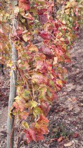 Avec les cépages syrah ou viognier, et une exposition au soleil et au vent exceptionnelle, la moraine schisteuse donne aux vinsblanc et rouge qui en émergent un caractère bien trempé (© Pierre Nouvelle).