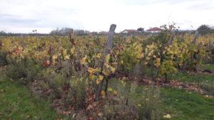 Sur la rive gauche de la vallée du Rhône, la terre dauphinoise héritière des glaciers est propice aux arbres fruitiers, mais les vignes y font leur retour comme à Assieu ( © Pierre Nouvelle ).