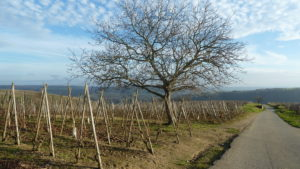 Chaque matin, le journaliste-romancier observe la côte brune et la côte blonde et voit se préparer les vins de la côte rôtie ( © Pierre Nouvelle ).